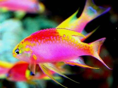 Quel est votre poisson préféré?? Pseudanthias%20ventralis